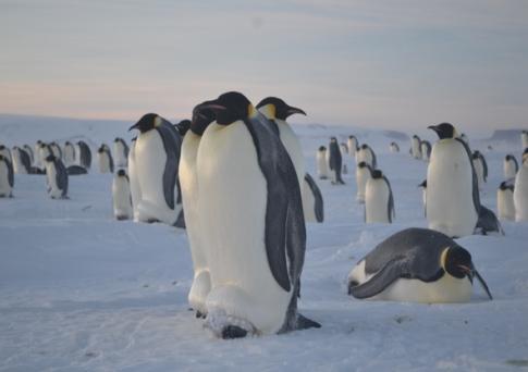 Colonia de pingüinos emperador de Cerro Nevado